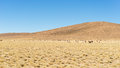 Desertic highlands on the andes with llamas bolivia high altitude barren of among most important travel destination in huge herd Royalty Free Stock Photography