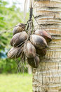 Desiccated coconut on tree in the orchards Stock Photos