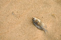 The desiccated corpse of a fish on seabeach there is dry Stock Images
