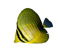 Desjardin s sailfin tang zebrasoma desjardinii juvenile isolated on white background Royalty Free Stock Photography