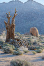 Desolated country dead quiver tree in a richtersveld south africa Royalty Free Stock Photo
