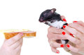 Desperate hungry hamster funny image of for sandwich Stock Images