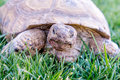 Dessert tortoise on green grass in a field of Royalty Free Stock Photography