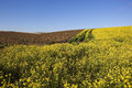 Dessicated potato crop with mustard bright yellow flowers and brown plants in the yorkshire wolds landscape under clear blue sky Stock Photos