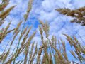 Destined grass growing in height and blue sky Royalty Free Stock Image