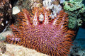 Destructive Crown of Thorns Star Fish Stock Photos