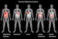 Det mänskliga digestivkexsystemet Arkivbilder