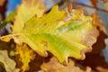 Detail of autumn oak leaf area Royalty Free Stock Photo