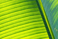 Detail of Banana leaf Royalty Free Stock Photography