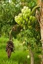 Detail of a Banana tree Royalty Free Stock Photo
