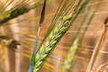 Detail of the Barley Spike Royalty Free Stock Photo