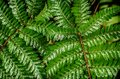 Detail of a beautiful leaf of fern close up Royalty Free Stock Photo