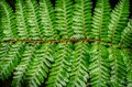 Detail of a beautiful leaf of fern close up Royalty Free Stock Images