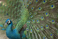 Detail of beautiful peacock with feathers. Royalty Free Stock Photo