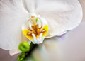 Detail of a beautiful white phalaenopsis orchid Royalty Free Stock Photo