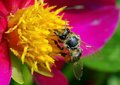 Spring background. Bee and flower. Pollination Royalty Free Stock Photo