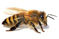 Detail of bee or honeybee , Apis Mellifera Royalty Free Stock Photo