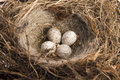 Detail of bird eggs in nest on white Stock Photo