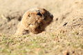 Detail black tailed prairie dog Royalty Free Stock Image