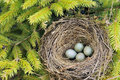 Detail of blackbird eggs in nest Royalty Free Stock Images