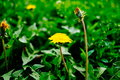 Detail of blooming yellow dandelions on grass at sunrise. Spring green meadow with dandelions. Spring flower Royalty Free Stock Photo