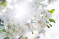 Detail of blossoming cherry flowers branch a tree with beautiful white with sun in background Stock Images