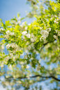 Detail of blossoming robinia tree with extremely soft background and blue sky visible Stock Image
