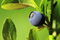 Detail blueberry plant Royalty Free Stock Photo