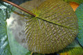 Detail of bottom of lily pad miami fl Stock Photos