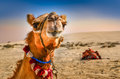 Detail of camel s head with funny expresion in the desert Royalty Free Stock Photography