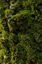 Moss In The Forest Detail Close Up On Green Lichens Substrate