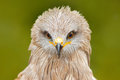 Detail close-up portrait of bird of prey with green background. Black Kite, Milvus migrans, brown bird of prey sitting larch tree Royalty Free Stock Photo