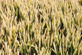 Detail of a cornfield in germany Royalty Free Stock Image