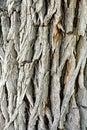Heavily Textured Tree Bark