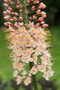 Detail of eremurus himalaicus foxtail lily