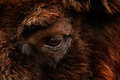 Detail eye portrait of European bison. Fur coat with eye of big brown animal in the nature habitat, Czech republic, Art view of bi Royalty Free Stock Photo