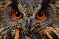 Detail face portrait of bird, big orange eyes and bill, Eagle Owl, Bubo bubo, rare wild animal in the nature habitat, Germany Royalty Free Stock Photo