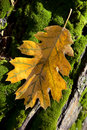 Detail of fall oak leaf yellow autumn with frost against green moss yosemite california Royalty Free Stock Image