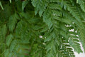 Detail Of Fern Leaf, Green Bac...