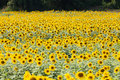 Detail of a field with many sunflowers in sunlight with shallow Royalty Free Stock Photos