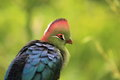 Detail of fisher turaco the fischer Stock Image