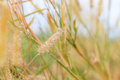 Detail of flowering grass blossoms Royalty Free Stock Photo