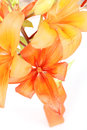 Detail of flowering orange lily Royalty Free Stock Photo