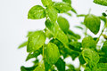 Detail fresh green basil plant Stock Photo