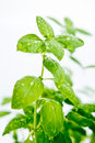 Detail fresh green basil plant Stock Image