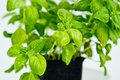 Detail fresh green basil plant pot Stock Photos