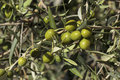 Detail of fruits in an olive tree Royalty Free Stock Photo