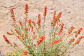 Detail of globemallow in the wilds Royalty Free Stock Photo