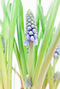 Detail of Grape hyacinths Stock Photos