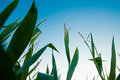 Detail of green corn with blue sky in background Royalty Free Stock Photo